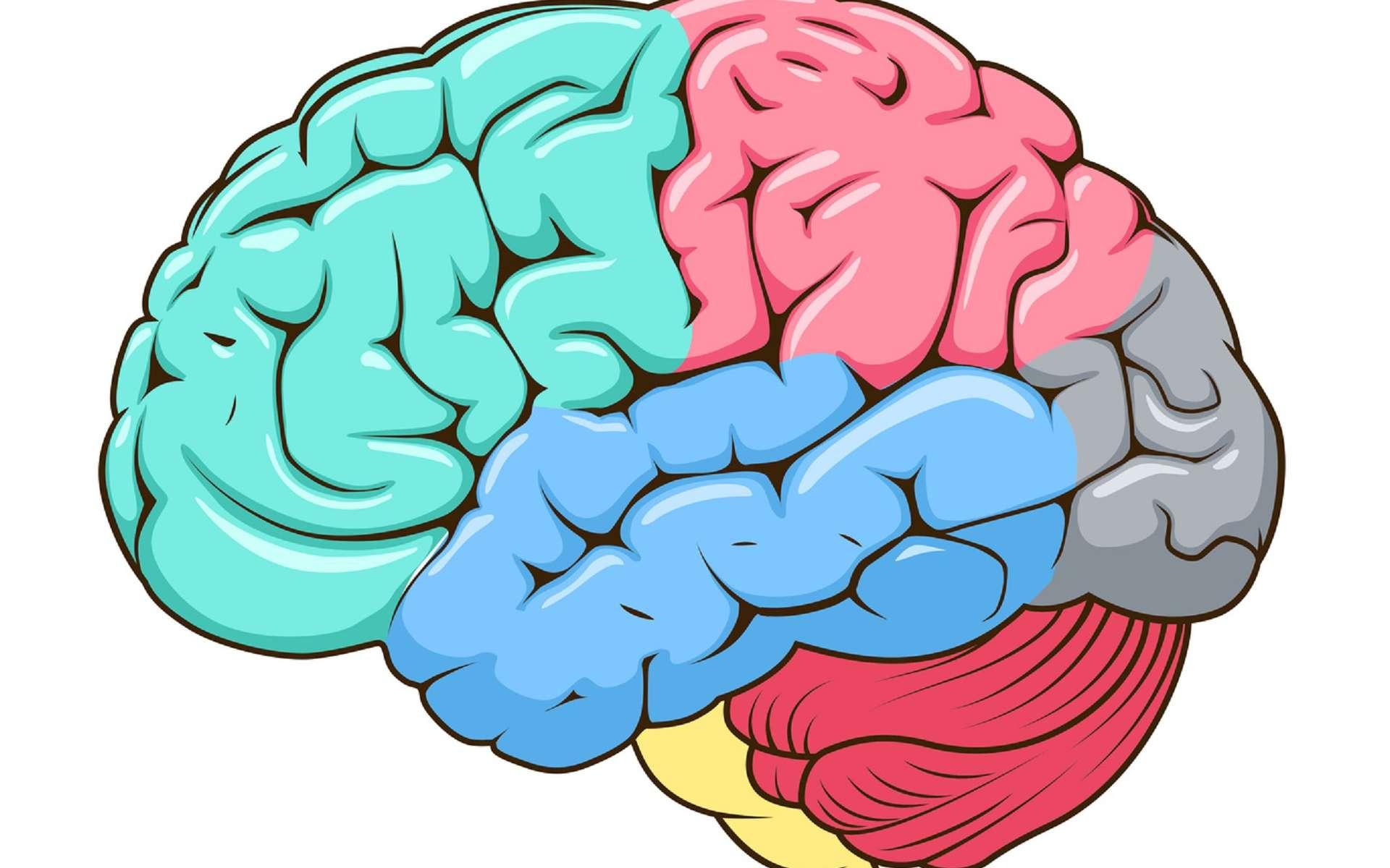Les lobes frontaux des deux hémisphères cérébraux se situent à l'avant. © Alexander Pokusay, Fotolia