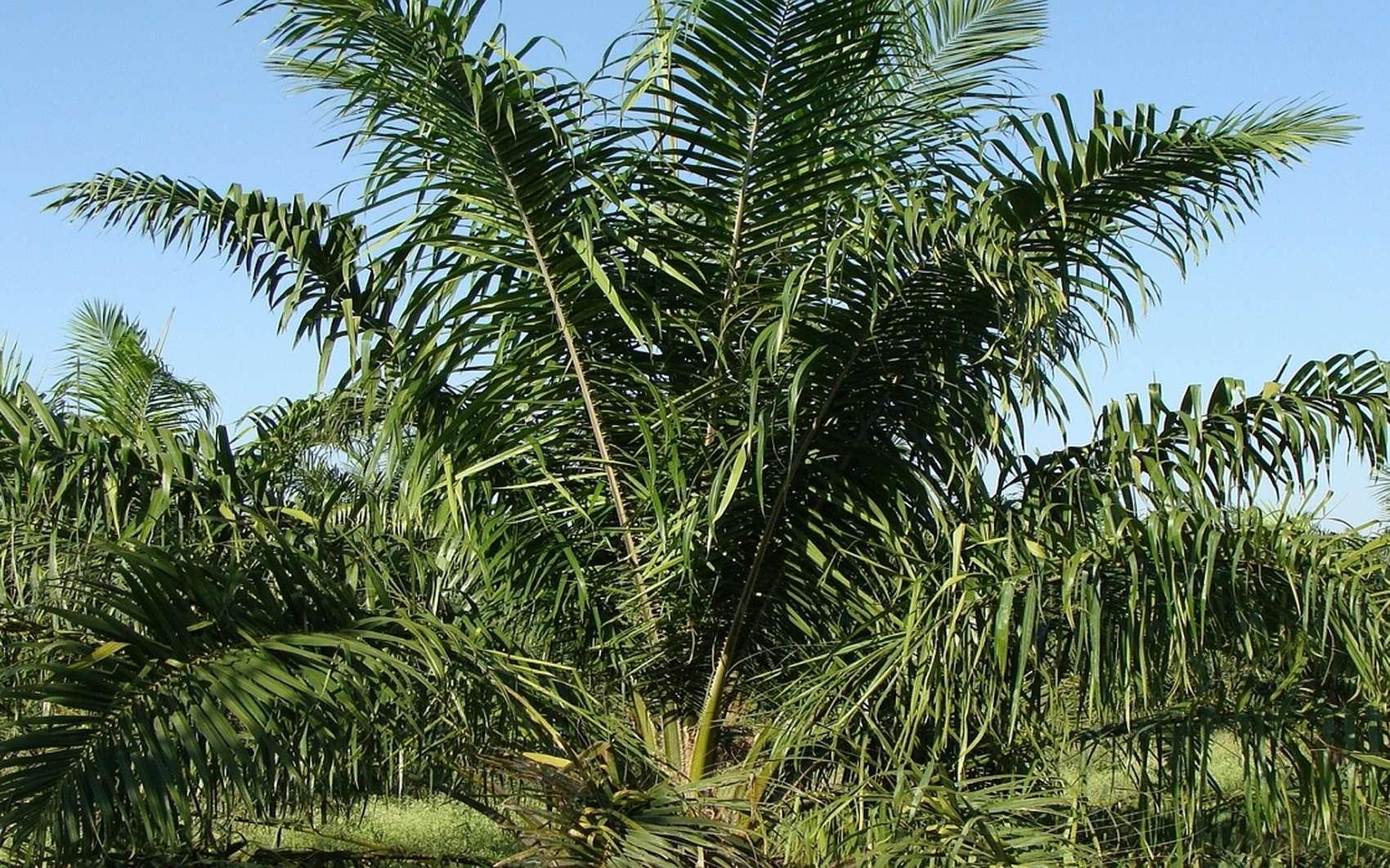 Les dangers de l'huile de palme. © sarangib, Pixabay