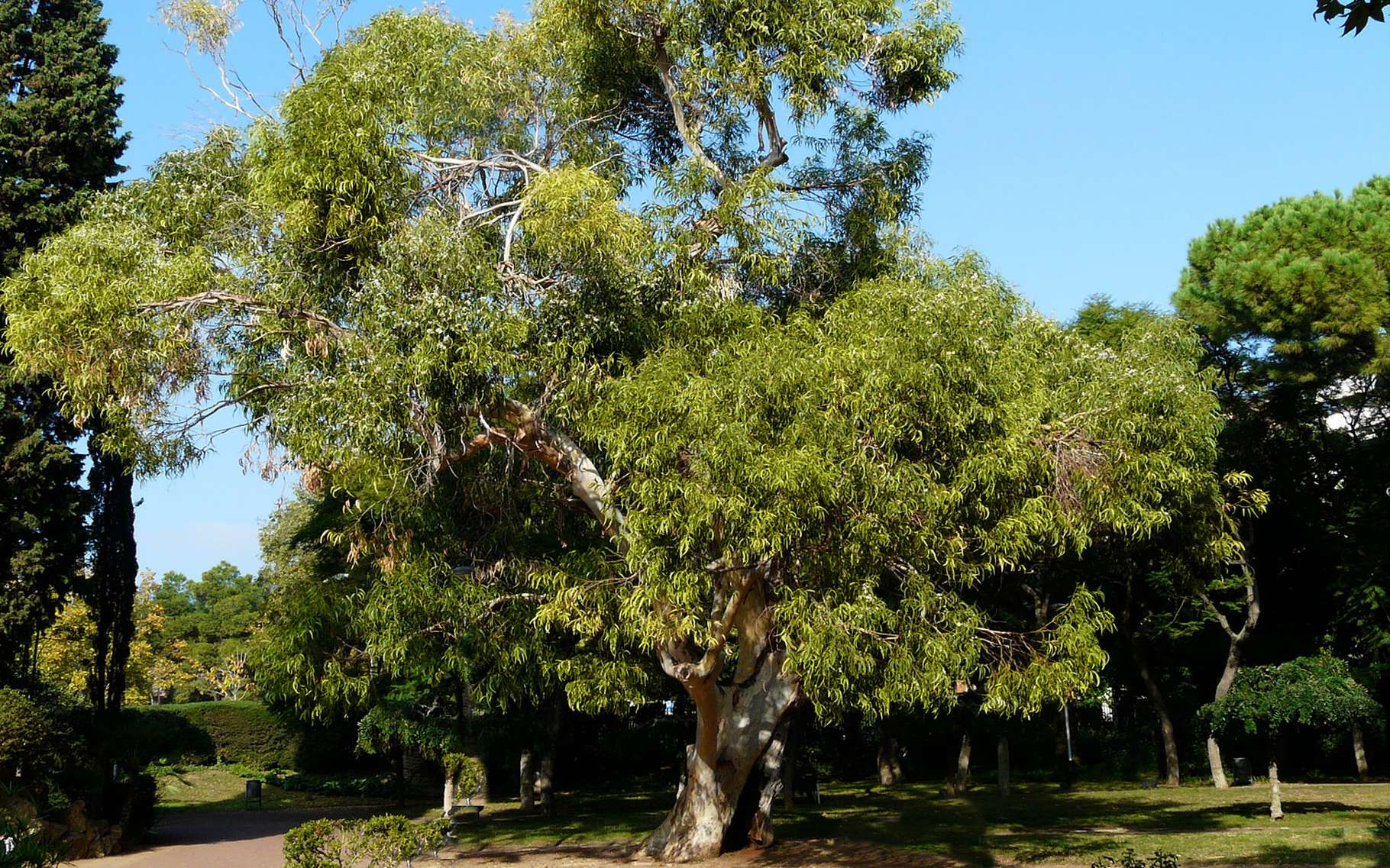 Eucalyptus globulus. © Tony Rodd/Flickr, Licence Creative Common (by-nc-sa 2.0)