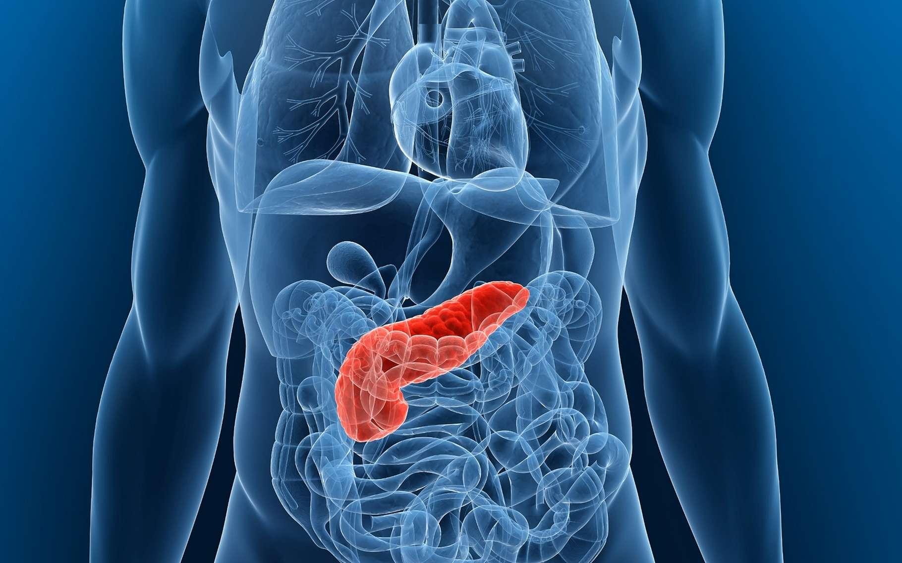 Le cancer du pancréas touche le pancréas, un organe situé derrière l'estomac qui produit des enzymes digestives et des hormones (insuline). © Sebastian Kaulitzki, Shutterstock