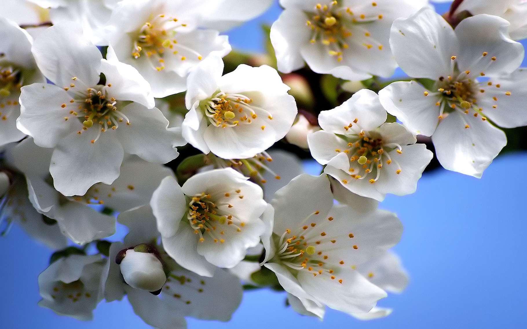 Le merisier est également appelé cerisier sauvage. © Kenneth Brown, Flickr CC by-nc 3.0