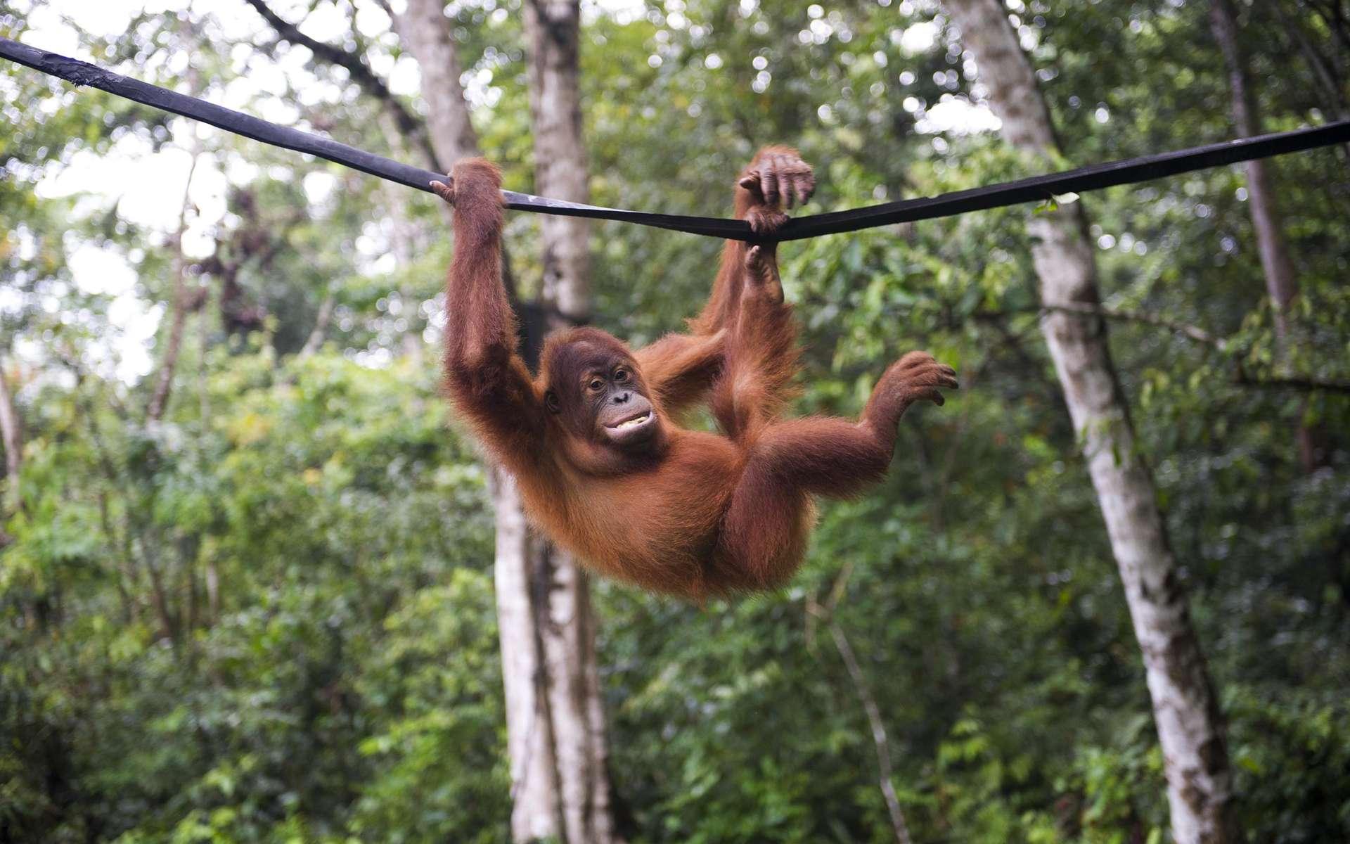 La population d'orangs-outangs de Bornéo a chuté de 25 % ces dix dernières années, indique une étude publiée dans Scientific Reports. © Chaideer Mahyuddin, AFP