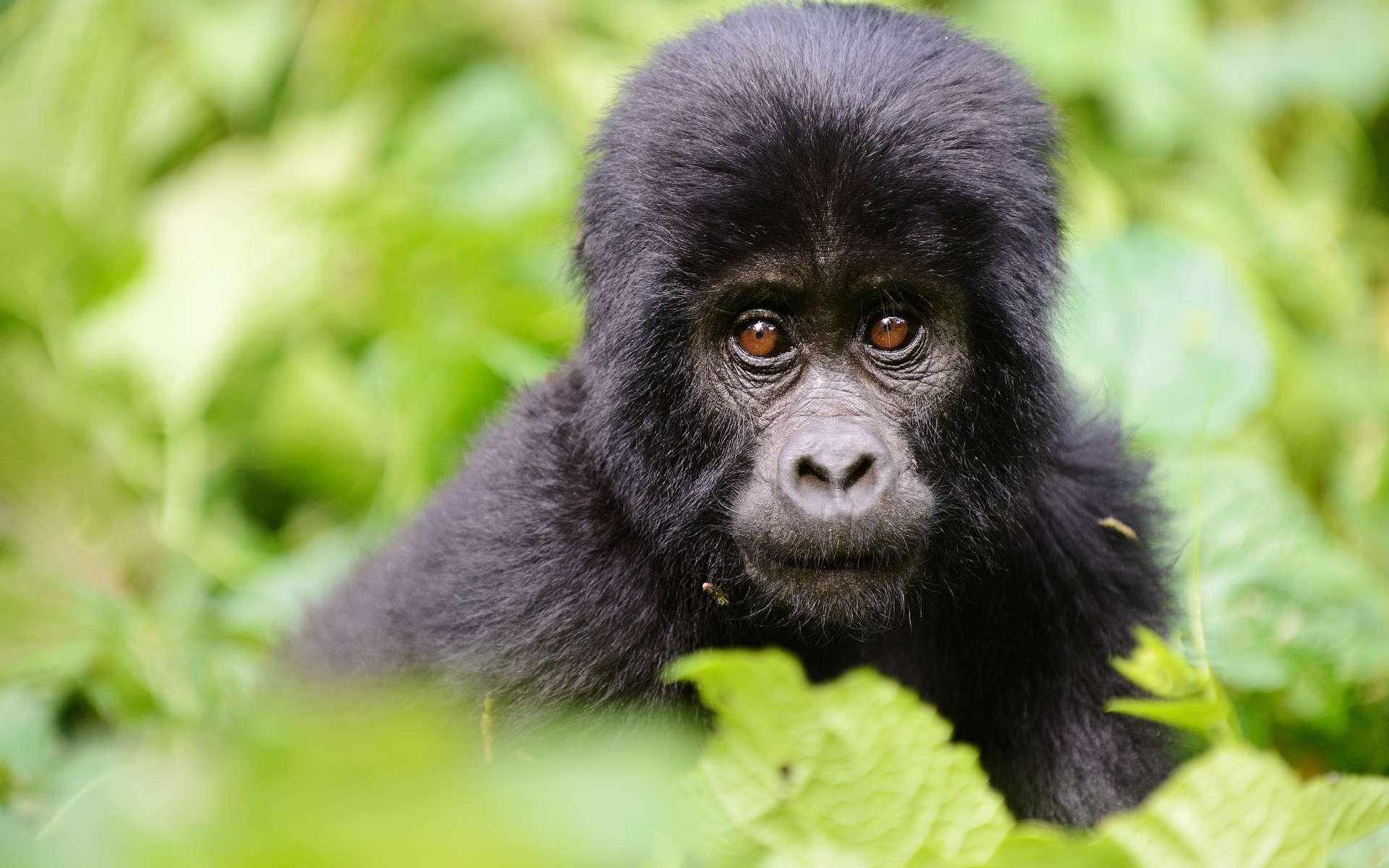 Un bébé gorille des plaines est né le 4 septembre. © Duelune, Adobe Stock