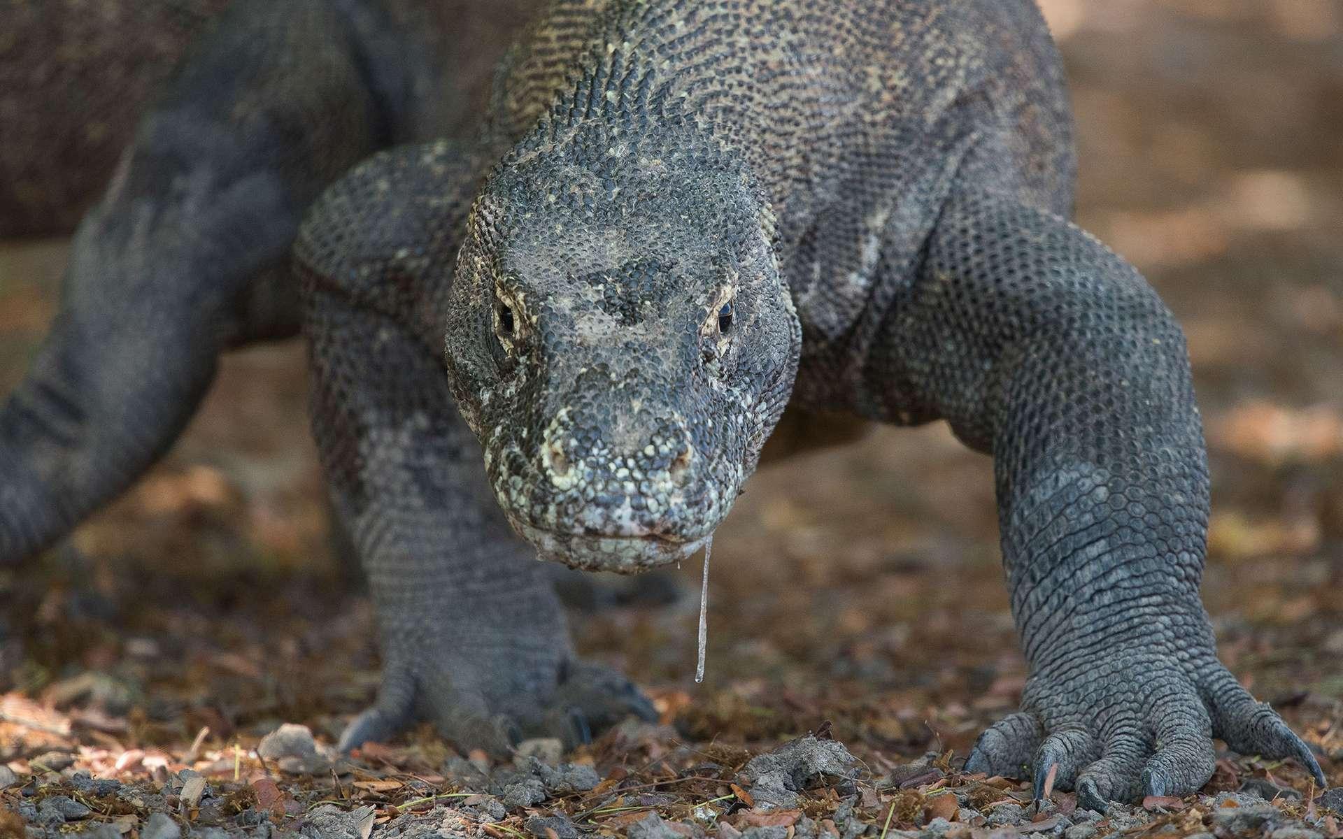 Le Dragon de Komodo est le plus proche cousin vivant du géant qui peuplait l'Australie il y a 40.000 ans. © Chris Kegelman