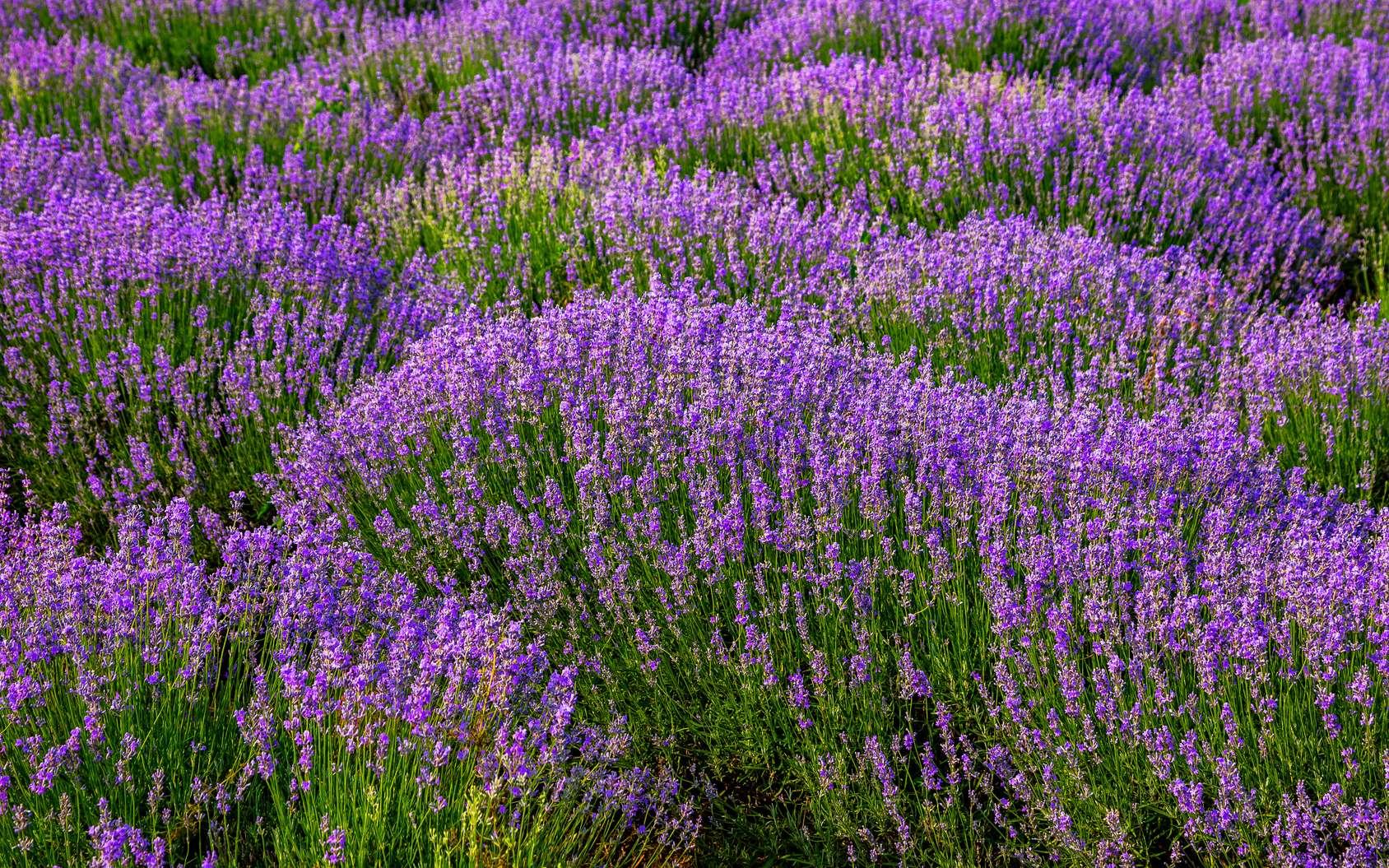 26.000 hectares de lavande et lavandin sont cultivés en France. © Sergii, Fotolia
