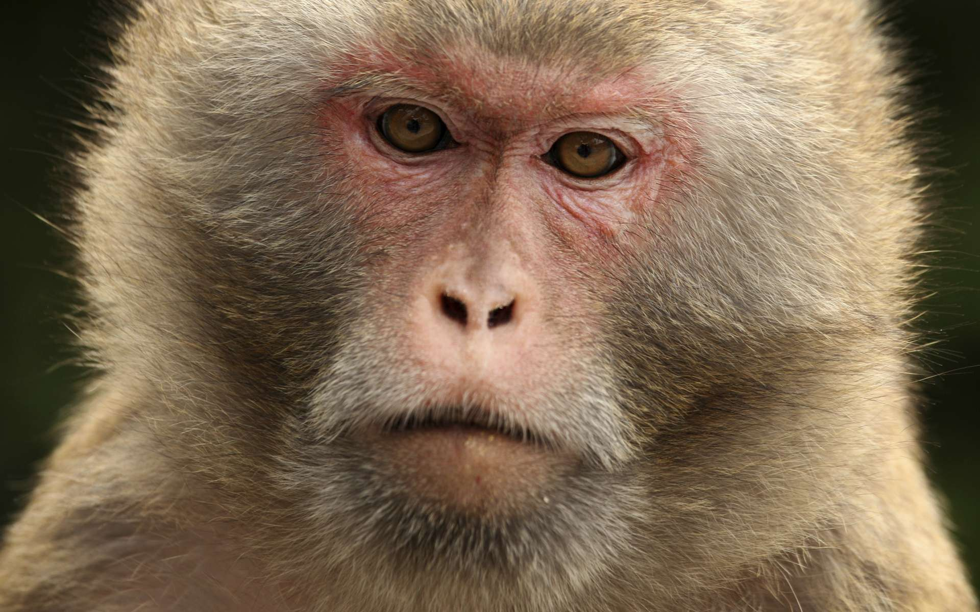 Elon Musk veut désormais faire jouer plusieurs singes ensemble. Par la pensée. © Ed Jones, AFP Photo