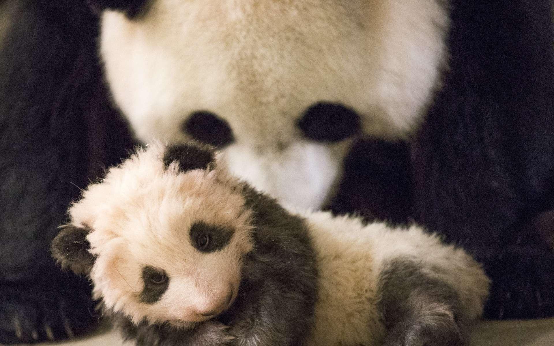 Le dernier panda en France est mort en 2000. © dangdumrong, Istock.com