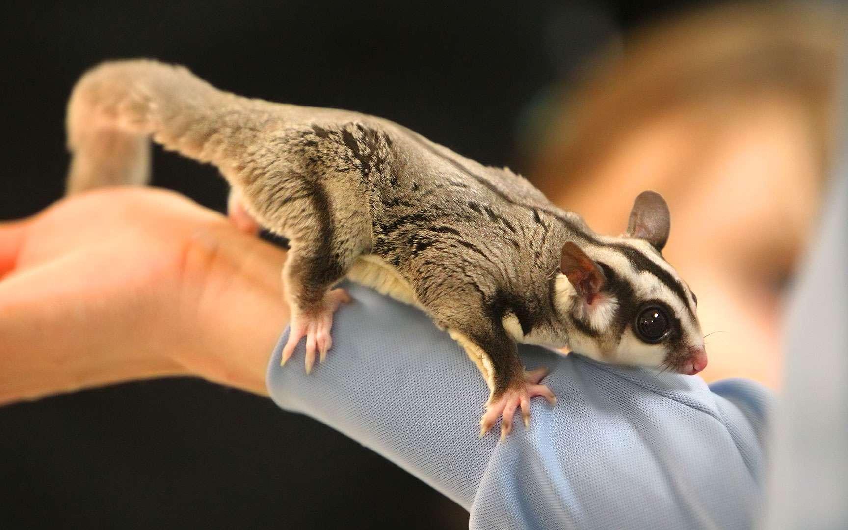 Le phalanger volant. « Ça plane pour moi ! » pourrait dire le phalanger volant. Ce petit opossum, originaire du nord et de l'est de l'Australie ainsi que de Nouvelle Guinée, possède la particularité de pouvoir planer d'un arbre à l'autre pour rechercher de la nourriture ou échapper à un danger. Il mesure entre 16 et 20 cm et pèse de 90 à 190 g. Cet animal peut planer grâce à deux membranes appelées patagiums qui relient le cinquième doigt des pattes antérieures au premier orteil des membres postérieurs. Certains sauts peuvent atteindre cinquante mètres d'un arbre à l'autre. Il est donc nécessaire d'avoir un enclos suffisamment vaste pour permettre à l'animal d'évoluer. Une précision : le phalanger est actif la nuit. Sa longévité peut atteindre une quinzaine d'années en captivité. © C-Serpents - CC by-nc 2.0