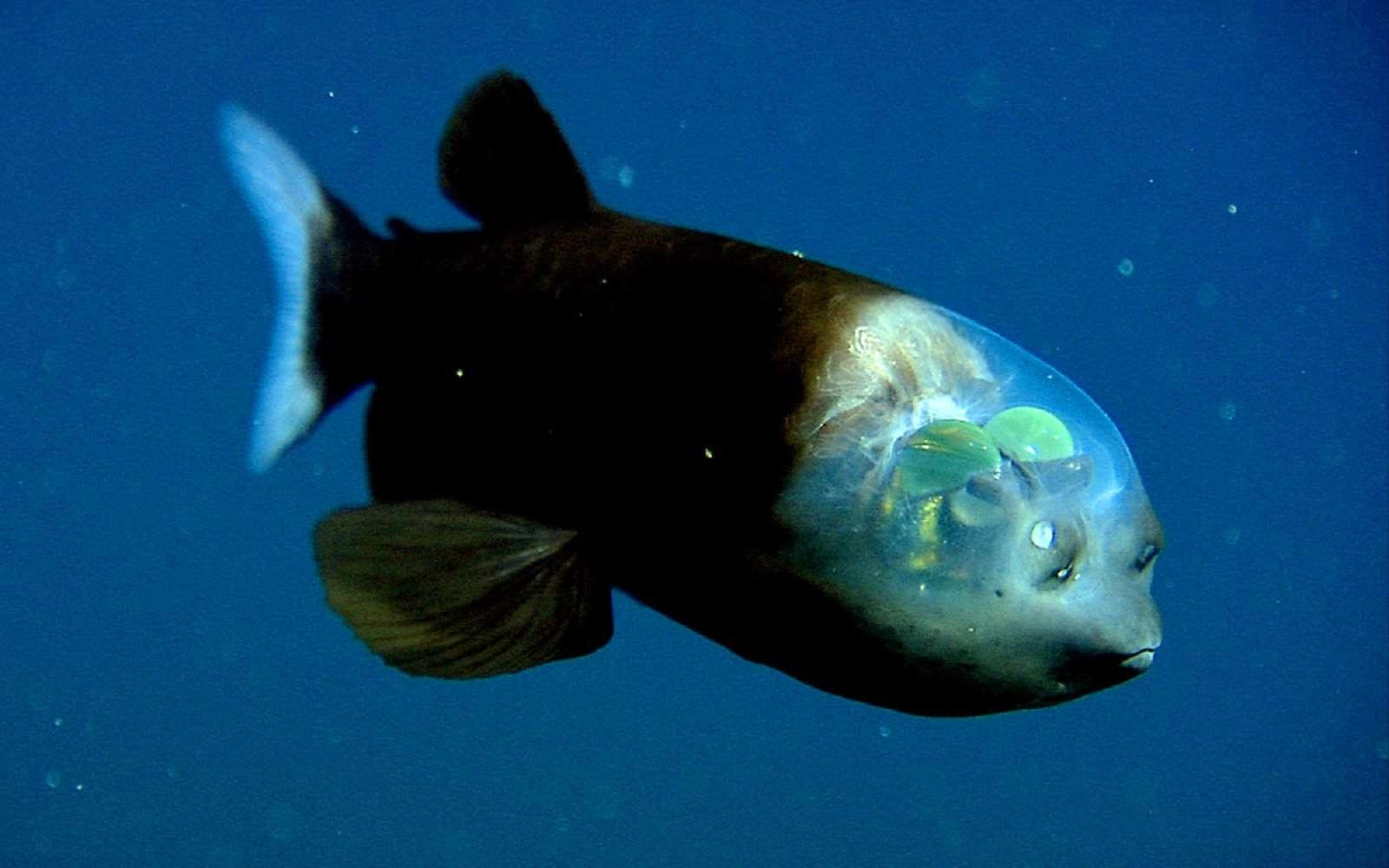 Un poisson-revenant, capturé par le robot sous-marin du Monterey Bay Aquarium Research Institute. © Mbari