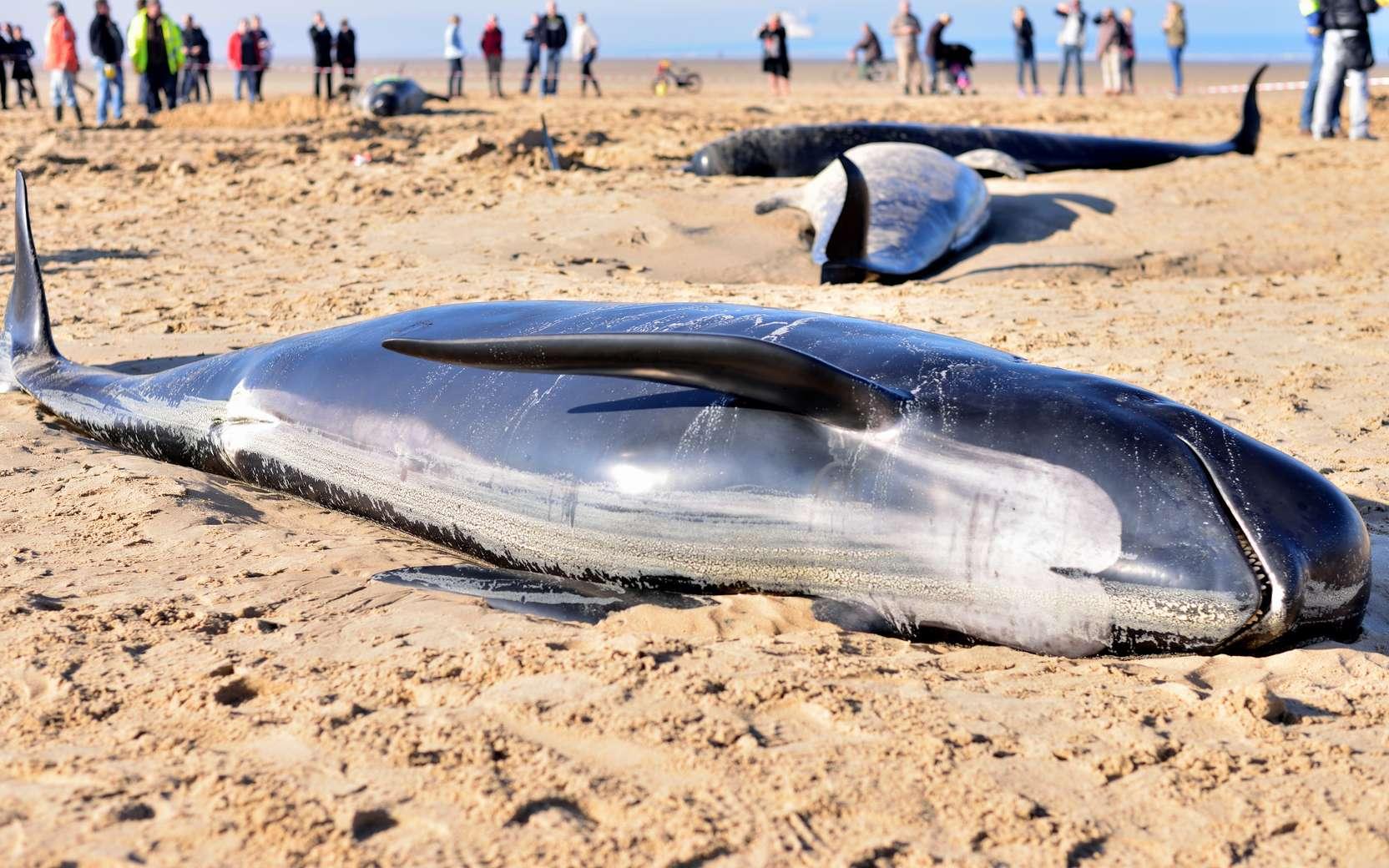 La cause de l'échouage des baleines serait... les tempêtes solaires. Ici, des globicéphales échoués sur la Côte d'Opale, près de Calais, en novembre 2015. © chrisberic, Fotolia