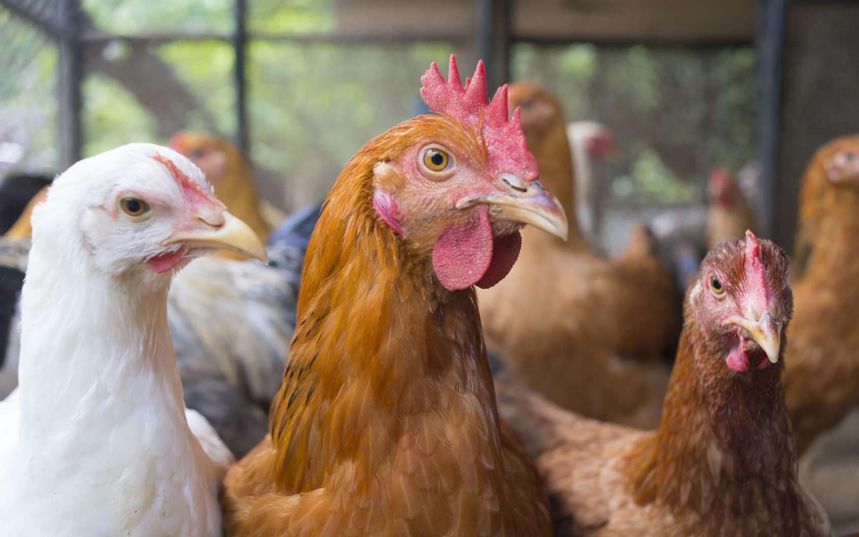 L'épizootie de grippe aviaire peut conduire à des mortalités importantes dans les élevages d'oiseaux. © Peeranat Thongyotee, Fotolia