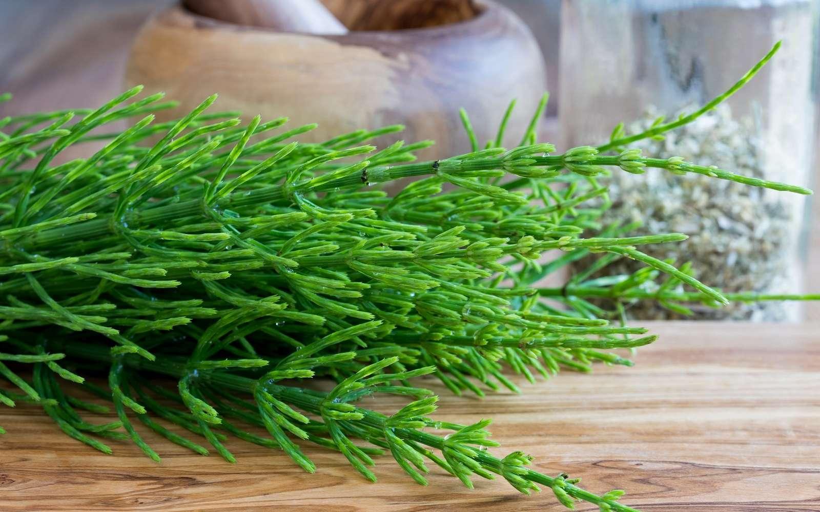 Prêle toute fraîche pour réaliser un purin, extrait de plantes efficace. Madeleine Steinbach, Adobe Stock