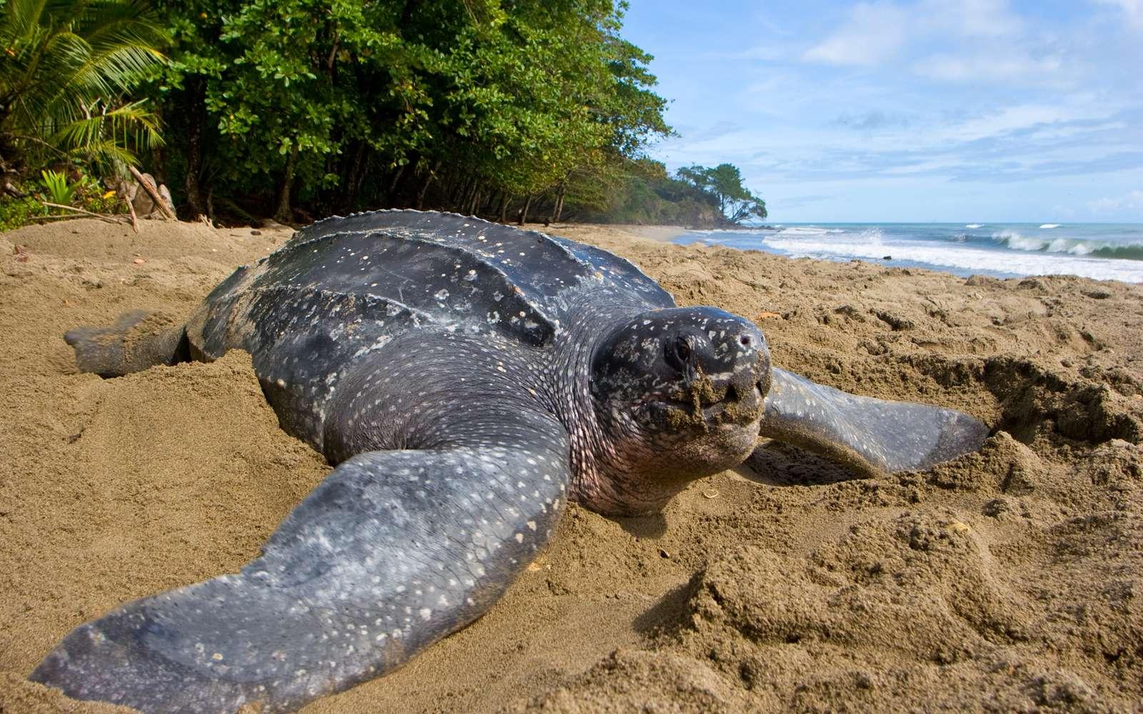La tortue luth (Dermochelys coriacea) a le statut d'espèce en danger critique sur la liste de l'UICN. Sur l'un des principaux sites de nidification de la tortue luth, le nombre de nids a décliné de 90 % en 27 ans. © Brian J. Hutchinson