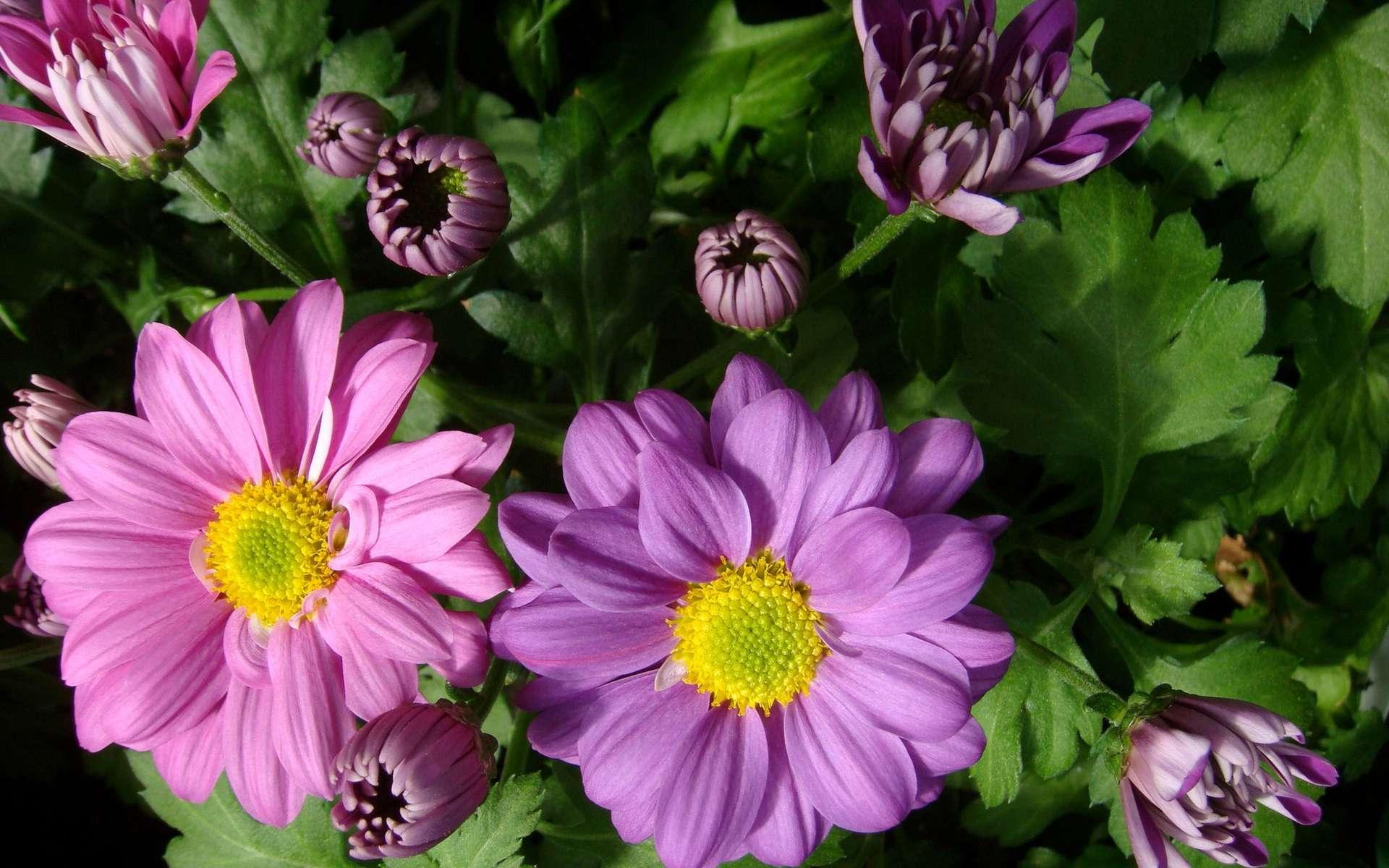 Des chrysanthèmes classiques. © Suntory Holdings Ltd