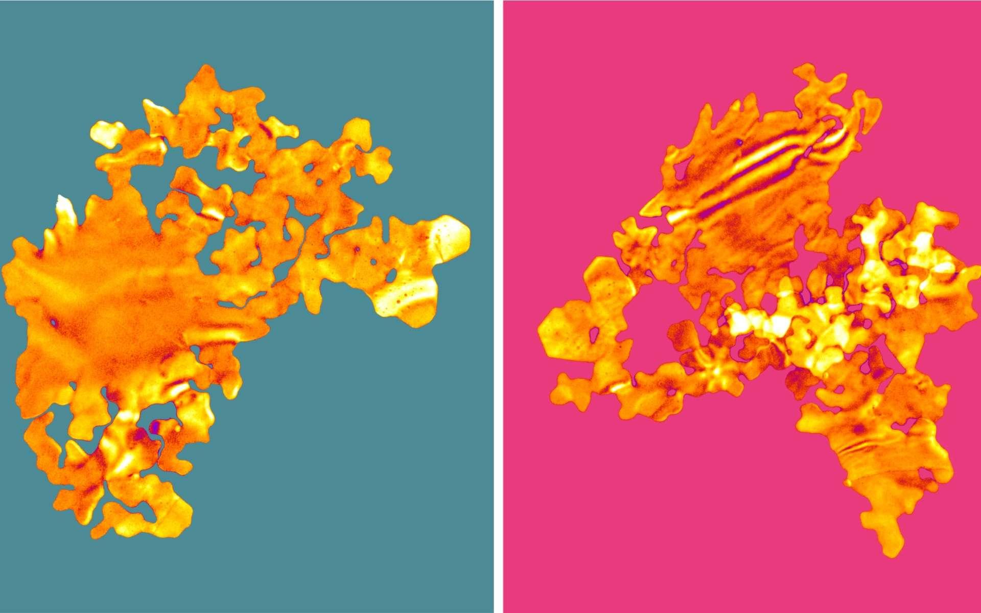 Des nanofeuilles d'or en 2D ont une forme et une couleur similaire à celle des algues. © Université de Leeds