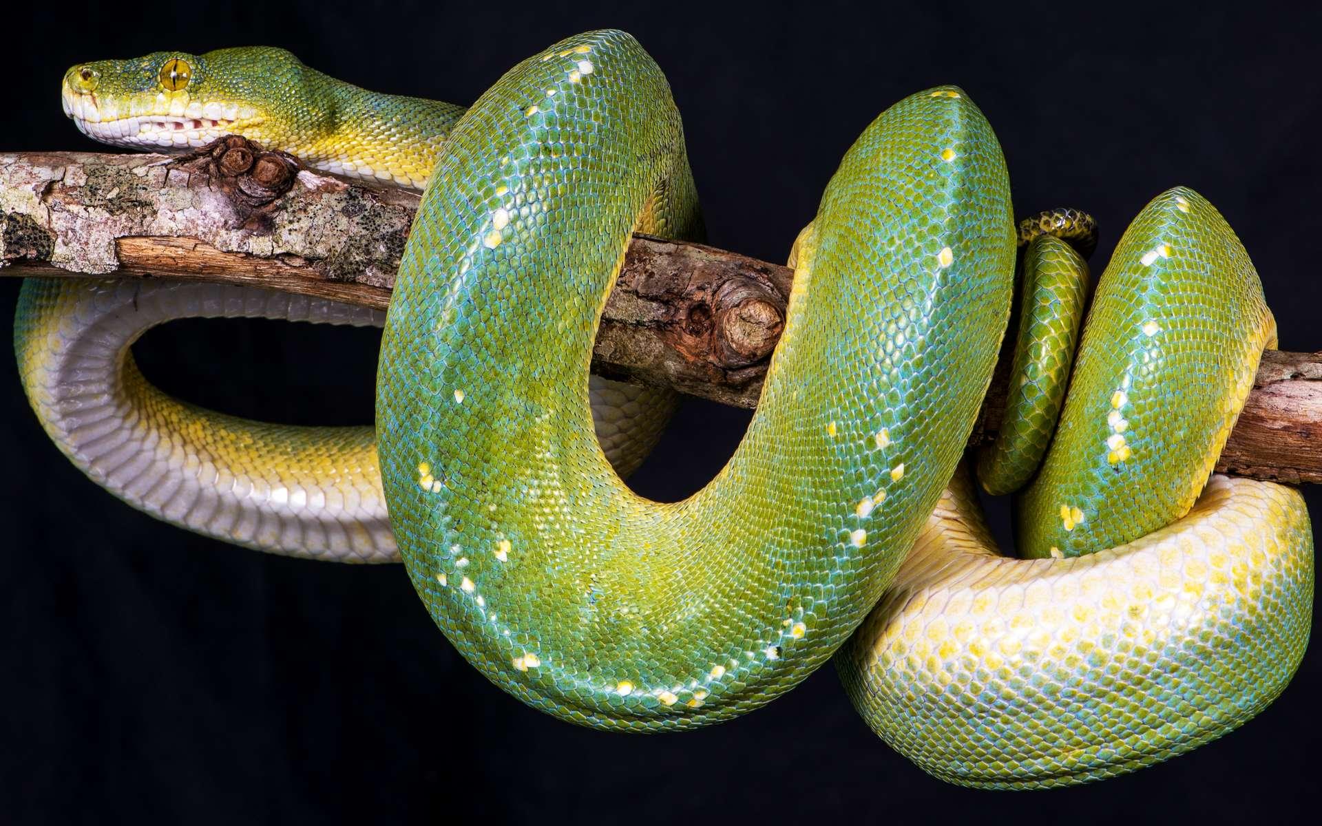 Le robot serpent de l'université de Stanford se déplace sous l'effet d'un air comprimé injecté dans son tronc. Ici, un vrai serpent. © Vjaceslavs, Fotolia