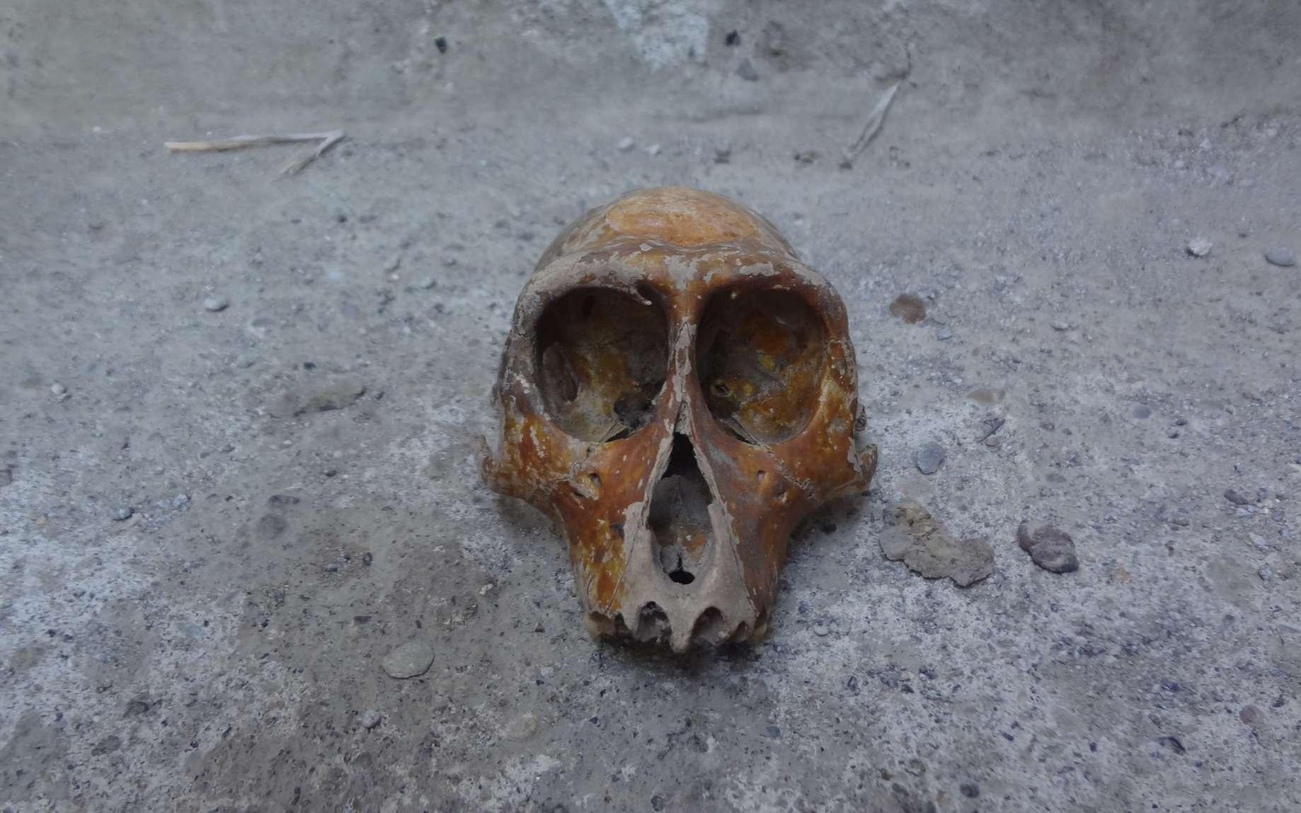 Un fossile de crâne humain. © anggasaputro, Fotolia