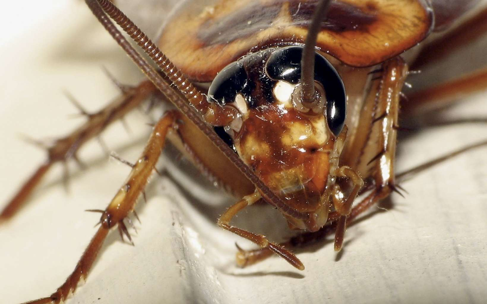 Le cafard est robuste, le robot insecte de l'Université de Californie Berkeley l'est encore plus. © Gustavo (lu7frb), Fotopédia, CC by-nc-sa 2.0