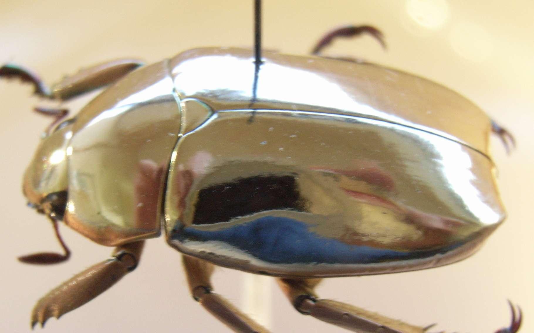 Le Chrysina resplendens, alias scarabée doré, constitue un témoin vivant de la beauté et de la complexité de la nature. © Notafluy, Wipimedia Commons, CC by-SA 3.0 Unported