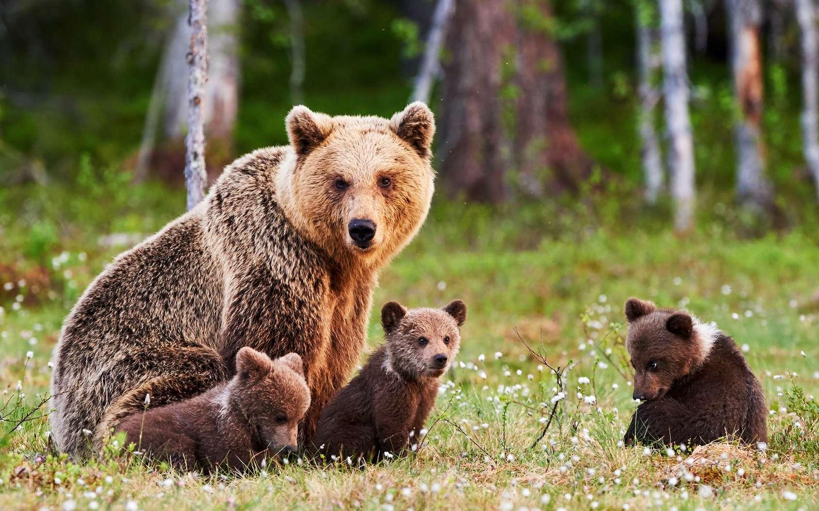 Une femelle ours brun avec ses petits. © lucaar, fotolia