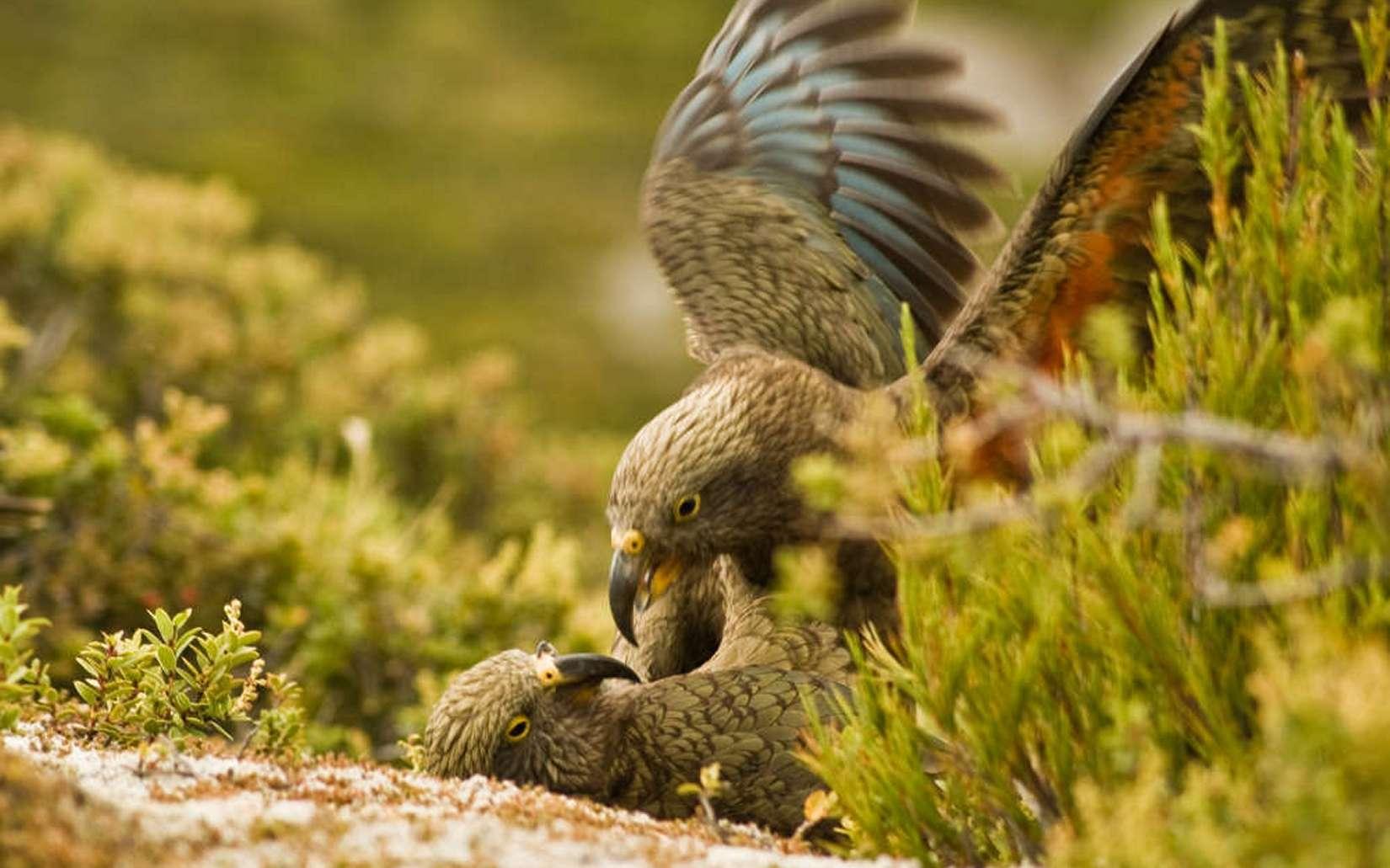 Les kéas, perroquets de Nouvelle-Zélande, manifestent des comportements complexes d'interactions sociales. © Raoul Schwing, Vetmeduni Vienna
