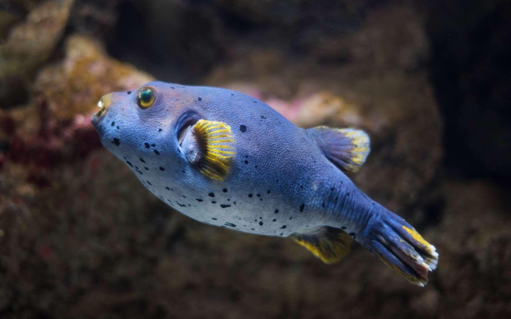 Les fugus font partie de la famille des Tetraondontidae. © herraez, Fotolia