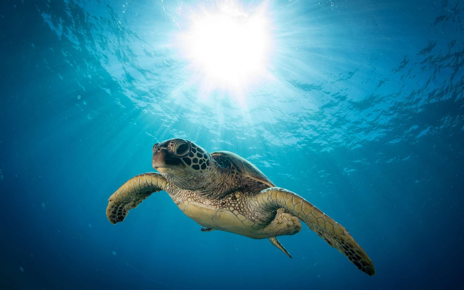 Le mode de vie des tortues de mer les rendrait plus vulnérables à la pollution plastique. © Drew, Adobe Stock