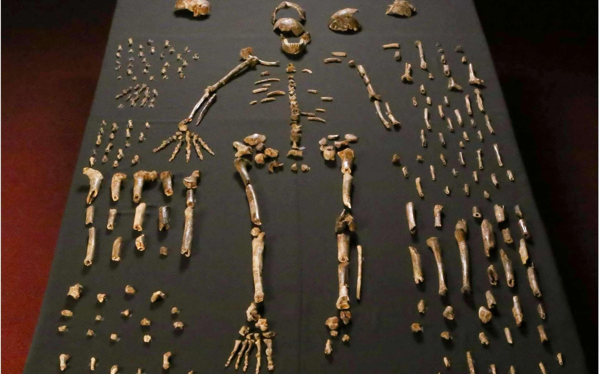 Plusieurs des fragments d'os ayant appartenu à des membres de l'espèce Homo naledi sont présents sur cette photo. © Lee Roger Berger, Wikipédia, CC by-sa 4.0