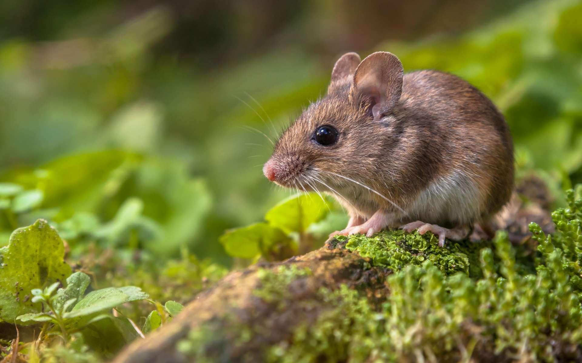 Le terme « souris » est un nom vernaculaire, c'est-à-dire qu'il ne fait référence à aucune classification scientifique précise. © Creativenature.nl, Adobe Stock