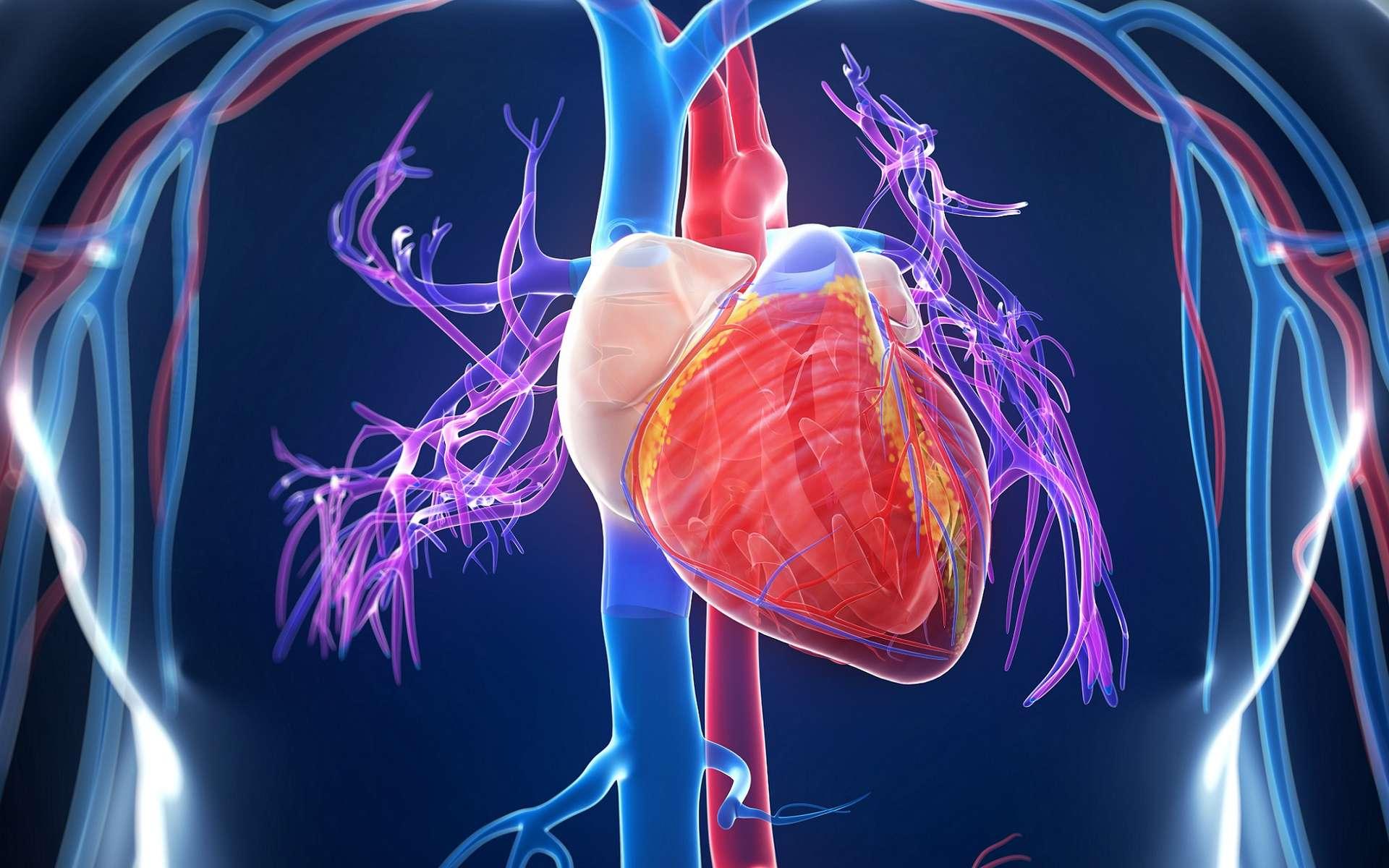 Les deux ventricules cardiaques sont les deux compartiments inférieurs du cœur. En rouge : sang riche en dioxygène, en bleu : sang pauvre en dioxygène. © Sebastian Kaulitzki, Shutterstock