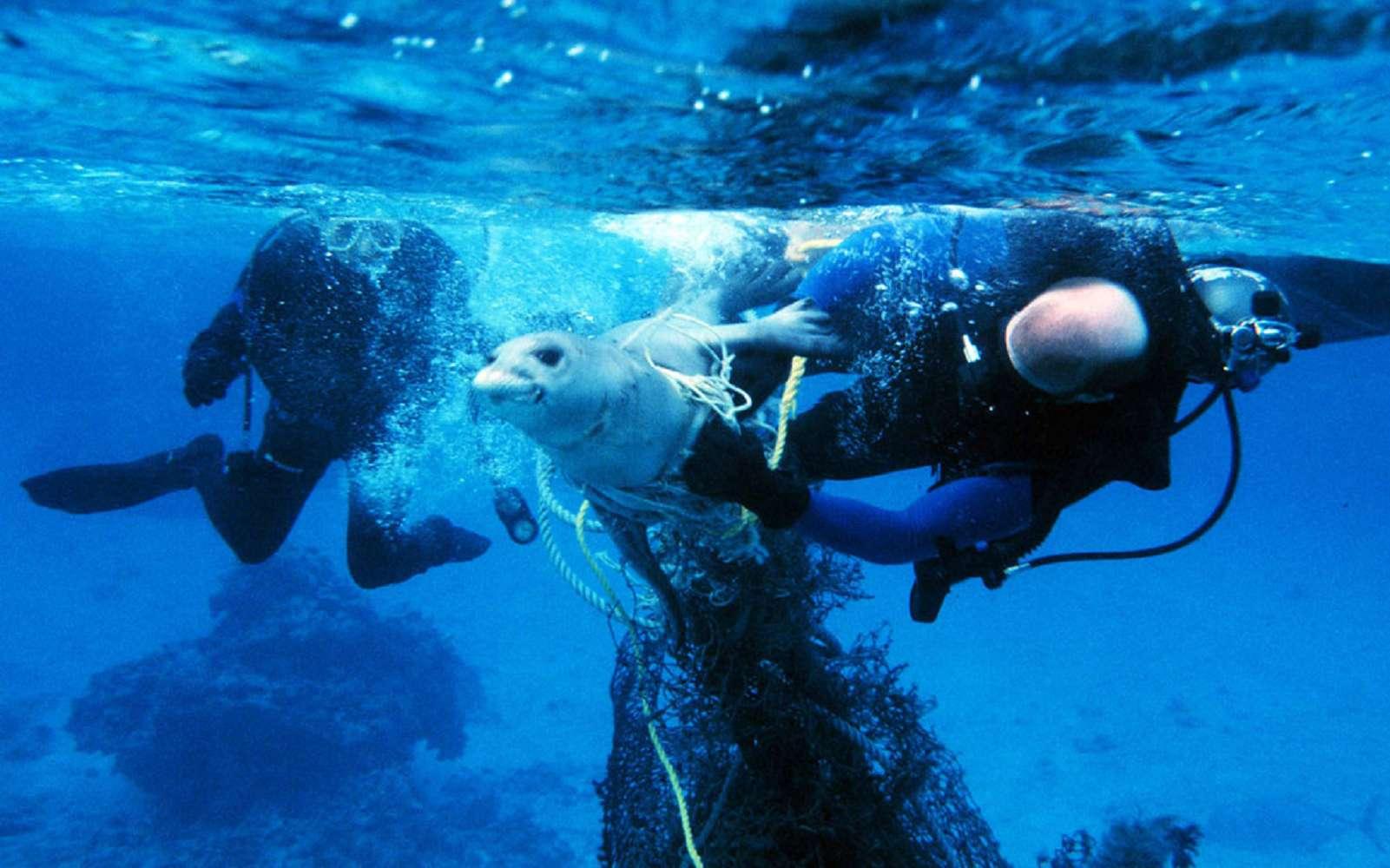 Des plongeurs tentent de libérer un phoque, pris dans des filets de pêche © NOAA / Flickr