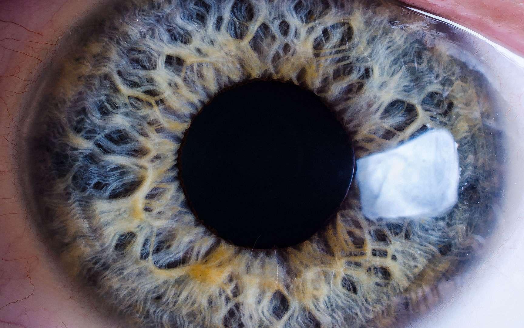 L'iris est la zone colorée de l'œil, visible à l'avant. Il s'agit en fait de la partie antérieure de la tunique vasculaire (choroïde). L'iris possède une ouverture en son centre : la pupille, ronde, qui laisse passer la lumière. Le diamètre de la pupille peut varier, laissant plus ou moins entrer la lumière, en fonction de la luminosité ambiante. L'iris contient un pigment brun plus ou moins abondant. © Mattis2412, CC by-sa 3.0