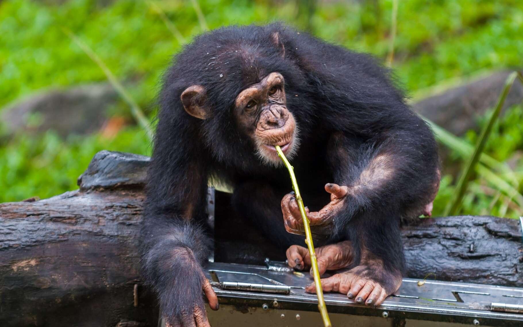 Les chimpanzés fabriquent toutes sortes d'outils et sont capables de transmettre ce genre de savoir-faire à leur descendance. Il y a là, donc, un début de ce que nous appelons la culture. © Vincent St. Thomas, Shutterstock