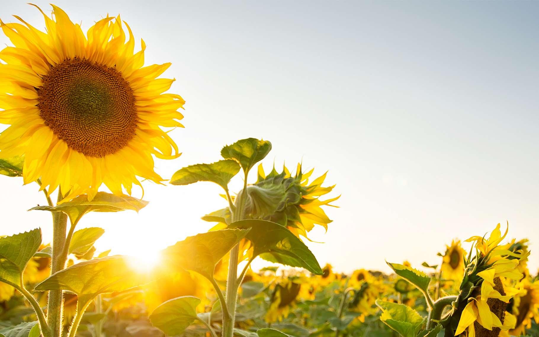 Une fois sa croissance achevée, le tournesol reste orienté en direction du soleil du matin. © Getman, Shutterstock