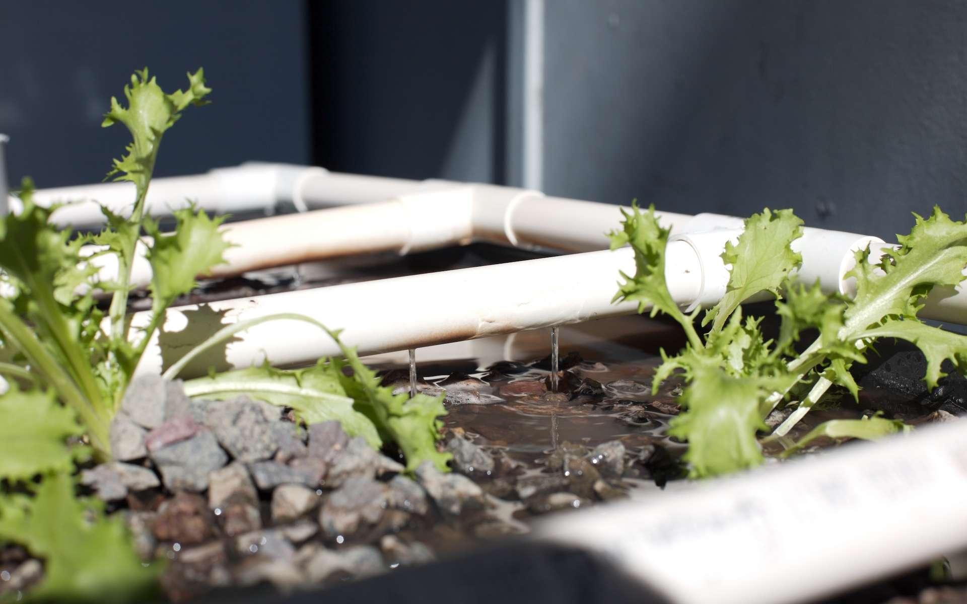 L'aquaponie est un système circulaire alliant la culture de plantes et l'élevage de poissons. © Bruno Mattarollo, Flickr