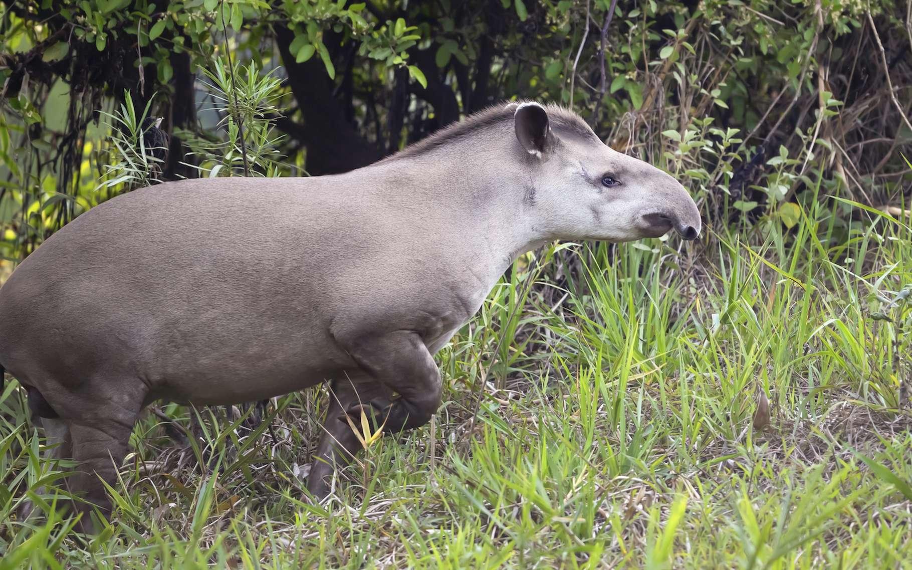 Des chercheurs s'intéressent aux excréments de tapir et à l'effet qu'ils pourraient avoir sur la forêt amazonienne. Riches en graines en tous genres, ils pourraient aider à la restaurer. © giedriius, Adobe Stock