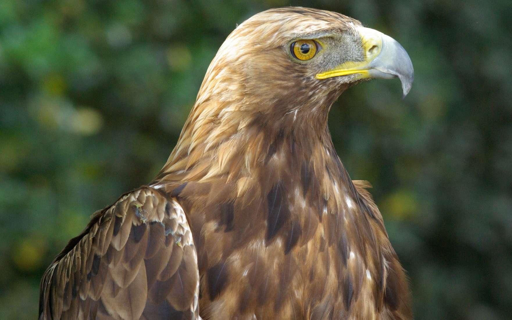 L'aigle royal, rapace majestueux et puissant, a été l'emblème de certains des empires les plus imposants de l'histoire. © Philippe Gourdain