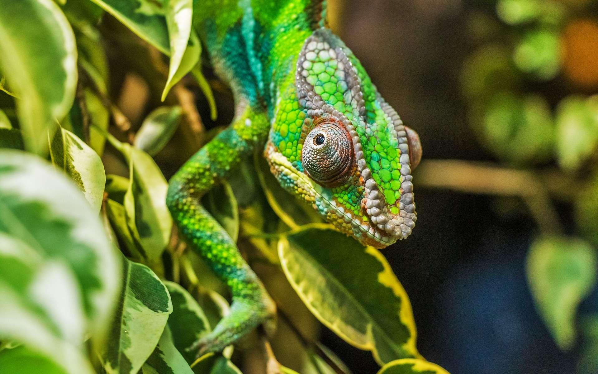 Le caméléon est capable de changer de couleur grâce aux chromatophores contenus dans sa peau. © Bergadder, Pixabay, DP