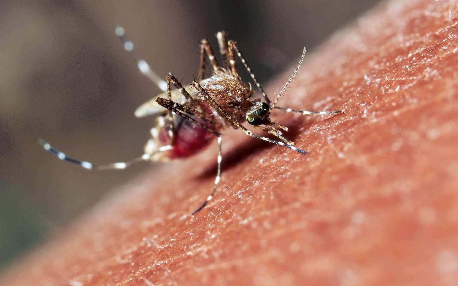 Les arbovirus sont transmis par des arthropodes piqueurs comme les moustiques. © Amir Ridhwan, Shutterstock