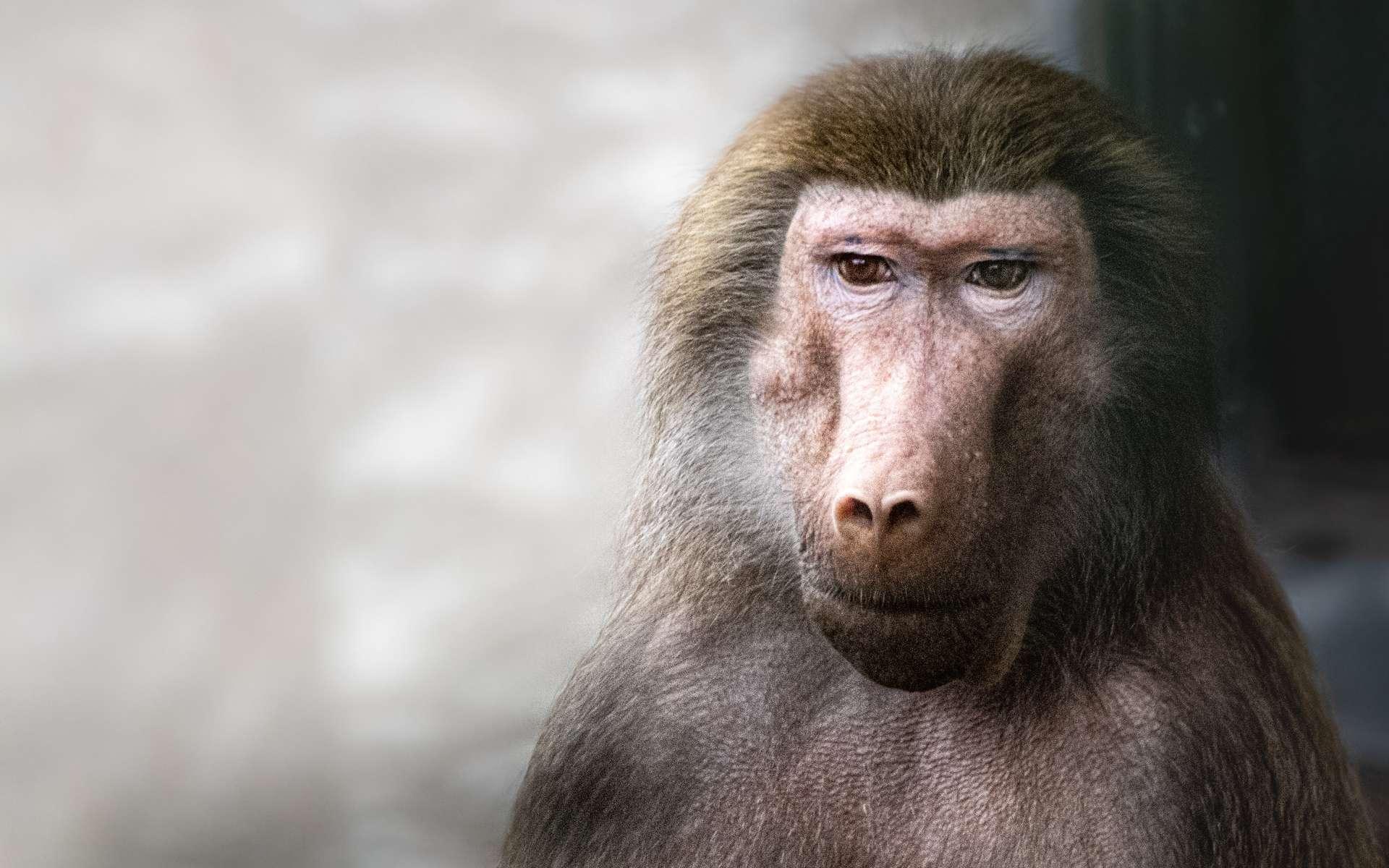 Les mères babouins pourraient ressentir le deuil ou un sentiment équivalent. © Ralph Lear, Adobe Stock