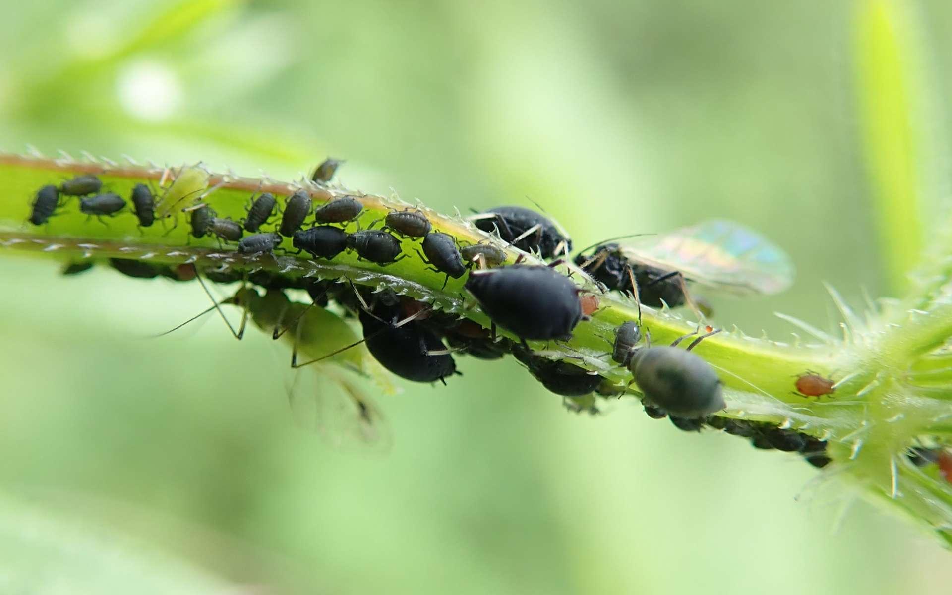 Le puceron noir de la fève (Aphis fabae) © a_emmerson, iNaturalist