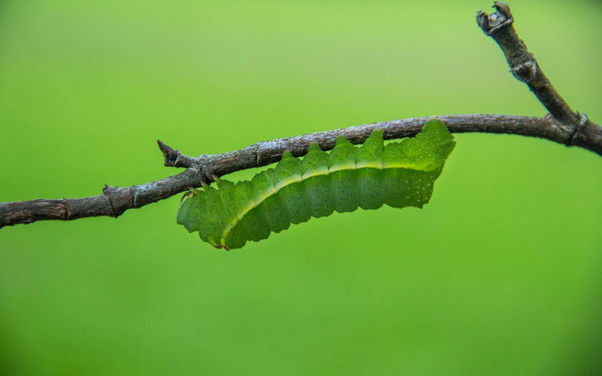 Les phéromones reproduites en laboratoire par M2i sont utilisées pour créer une confusion sexuelle afin de désorienter ou d'attirer les insectes nuisibles. © Marco Verch, Flickr