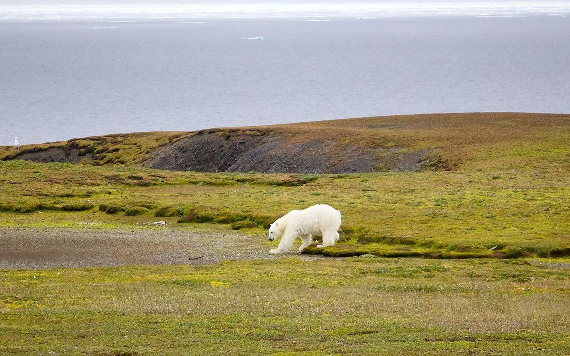 Les grands vertébrés comme les ours polaires sont particulièrement menacés par la sixième extinction de masse. © Maksimilian, Shutterstock