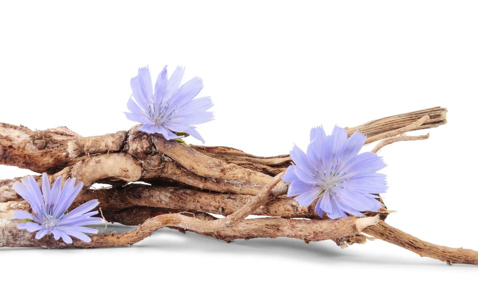 La racine de chicorée est la plante la plus riche en inuline. © Nata Studio, Fotolia