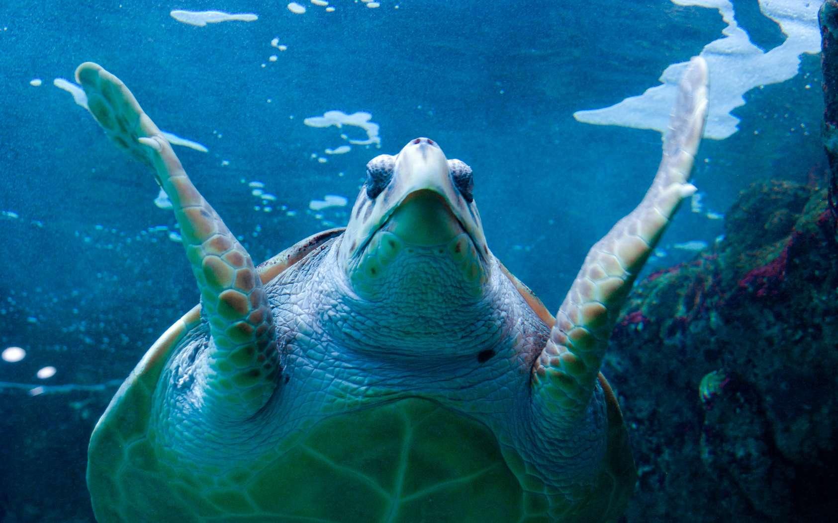 Bien que cela ne soit pas réellement établi, il semblerait que la tortue luth soit l'une des deux espèces de tortues dont la chair est toxique à cause de la chelonitoxine qu'elle contiendrait. © Yggdrasill, fotolia