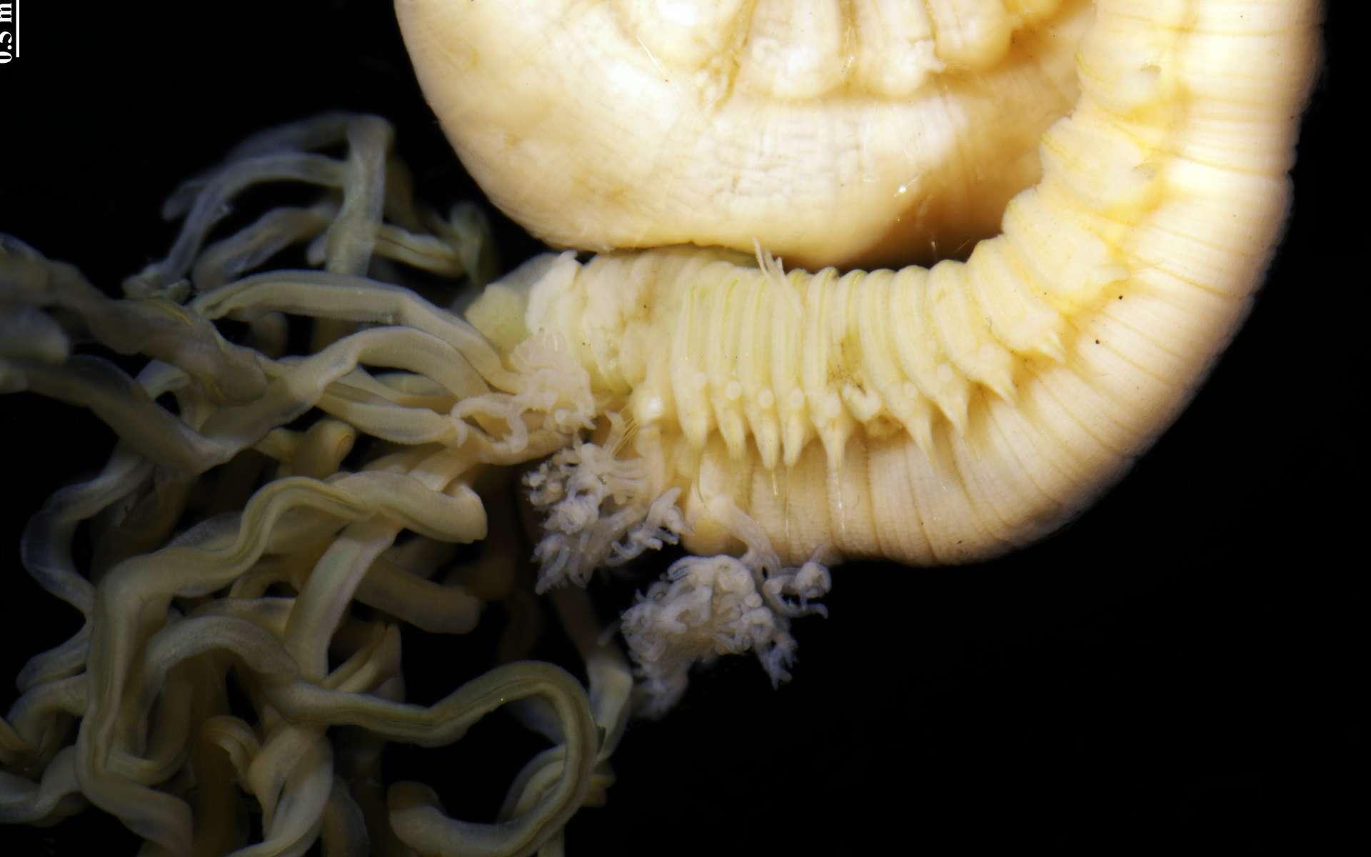 Les tentacules buccaux de Terebella banksyi sont bien visibles et représentent bien ce qu'est un ver spaghetti. © Nicolas Lavesque