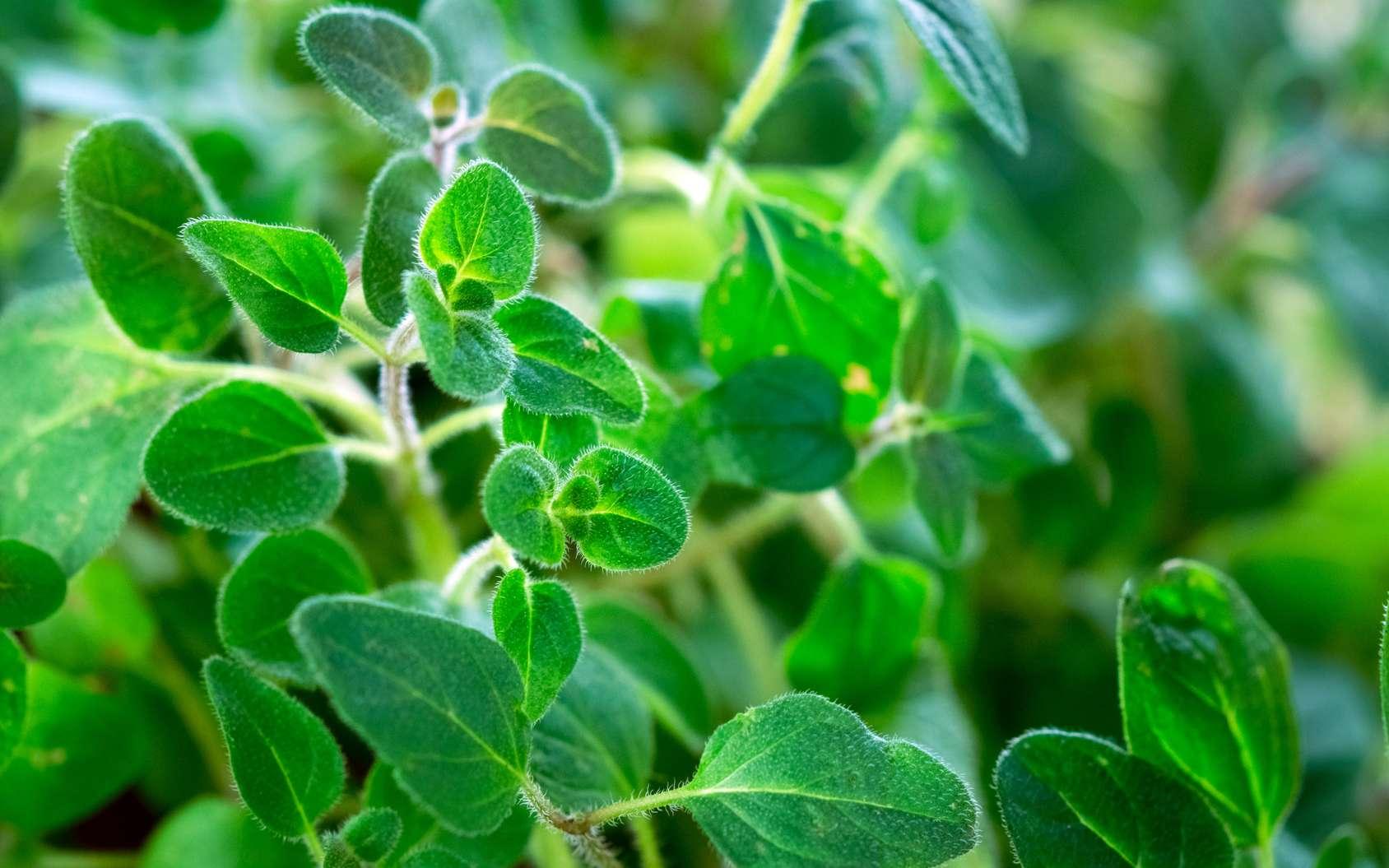 L'origan est un aromate facile à cultiver, il s'adapte bien au climat hexagonal. © Daniel Vincek, Fotolia