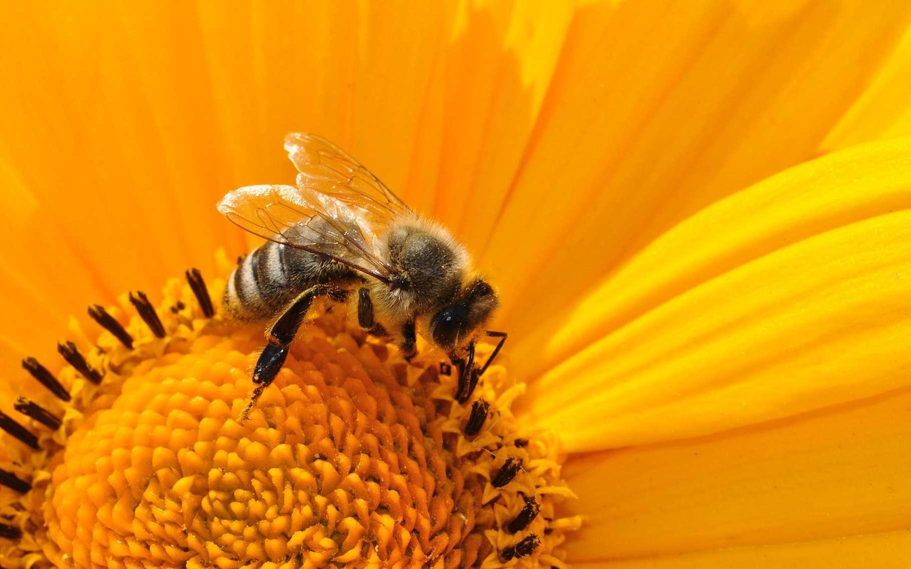 Une collaboration de plusieurs instituts a permis d'établir une liste de deux cents plantes nectarifères et pollinifères. Ce document est à consulter, entre autres, sur le site internet du ministère de l'Agriculture et de l'Alimentation. © katja, Fotolia