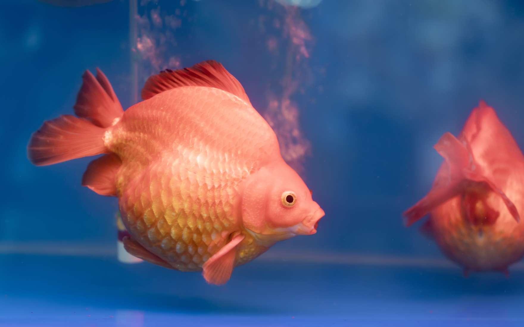 Votre poisson rouge dort-il ? Oui, mais les yeux ouverts. © huythoai, fotolia