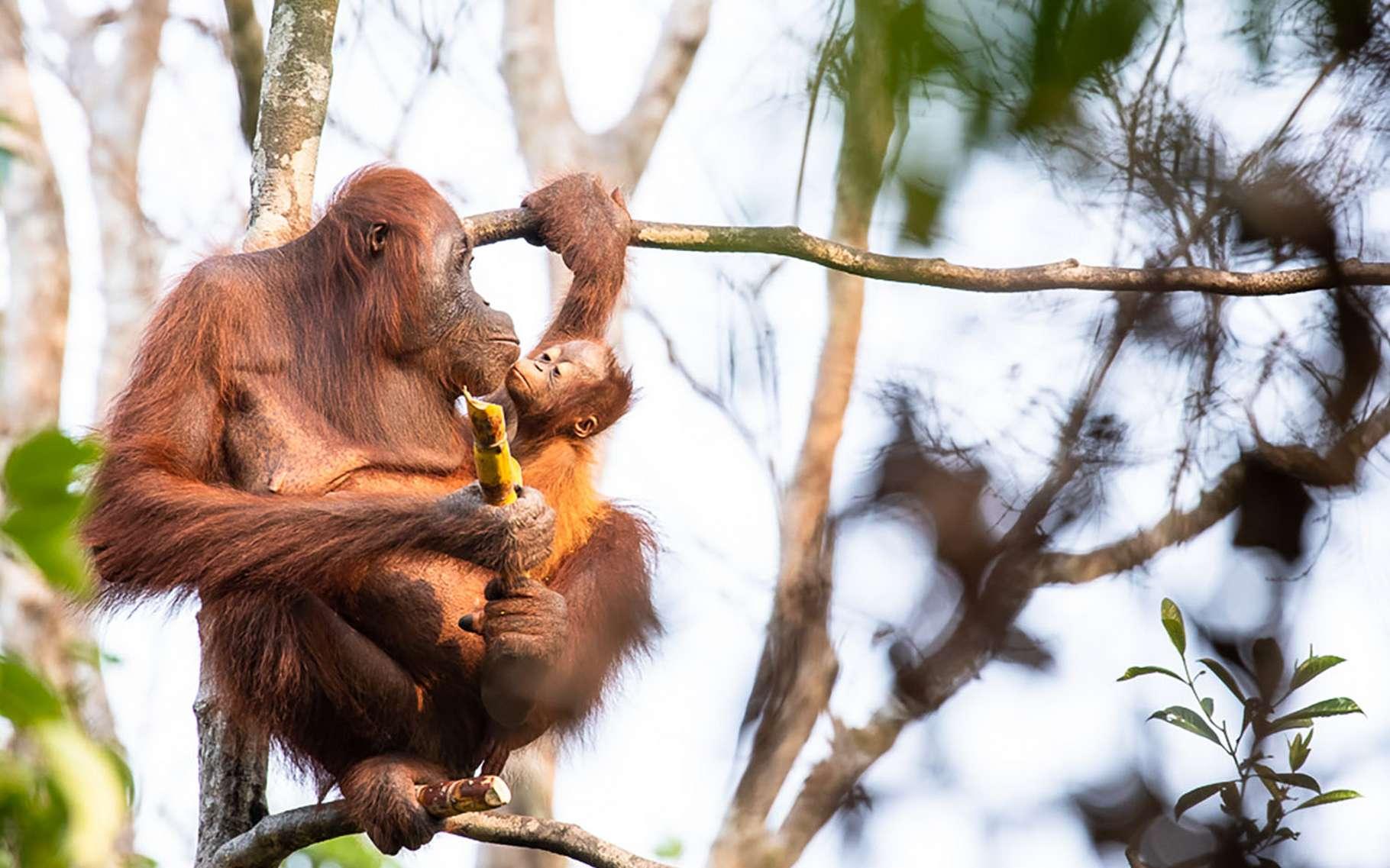 L'orang-outan ou « homme de la forêt ». © Maxime Aliaga, tous droits réservés